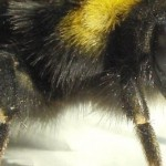 Q&A: Bee health: What is the EU doing?