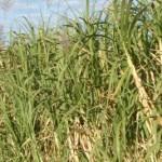 Sugarcane ethanol: Let the second reading start!
