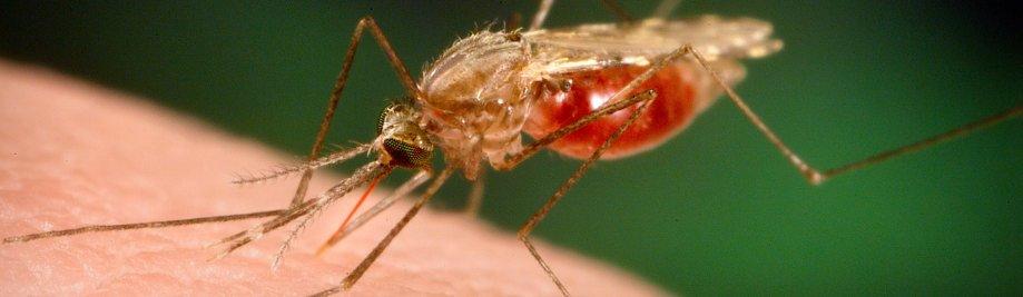 Mosquito Zika Malaria