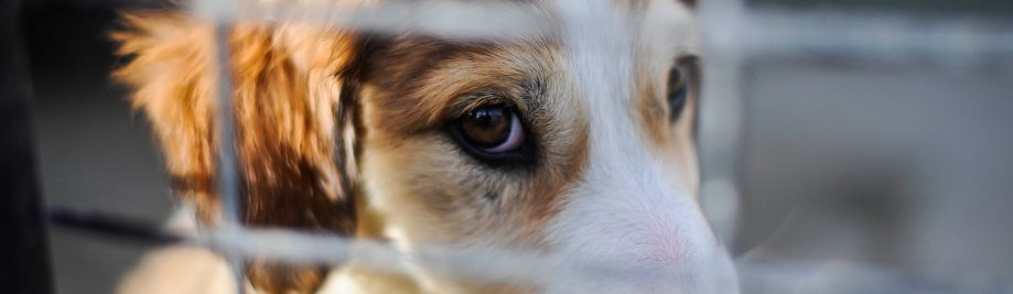 Importation Of Dogs Into Uk