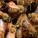 How agrobusiness and member states join forces to maintain #BeeToxicPesticides on the market