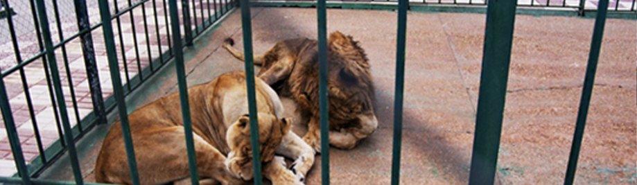 Зоолошката градина-lleons1