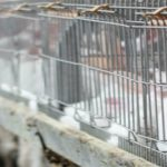 EU food safety agency criticizes #RabbitCages