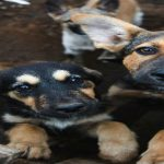 #PetTrafficking – Measures against the illegal puppy business