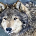 New poll shows EU citizens stand up for #Wolves